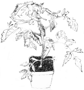 tomato_plant