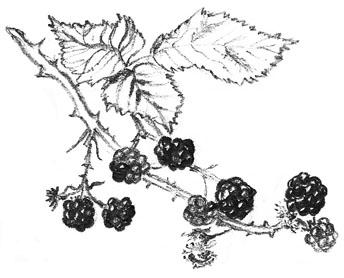 blackberry drawing