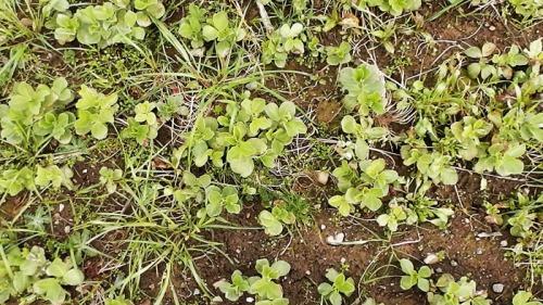 fava seedlings