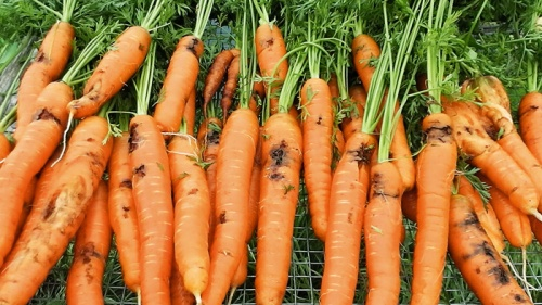 carrot damage