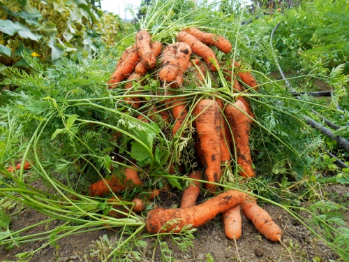 carrots harvested