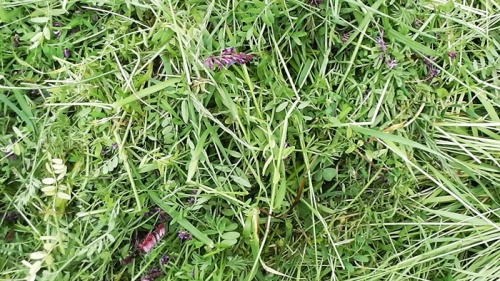 covercrop biomass