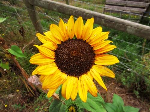 edie sunflower