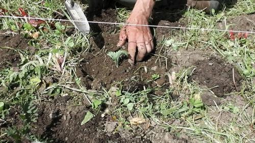 tranplanting kale