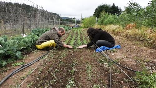 weeding carrots